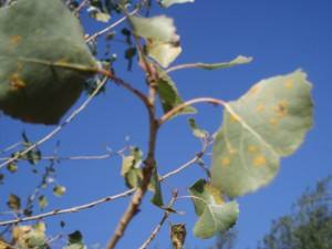 Leaf Rust (melampsora) on Cottonwood