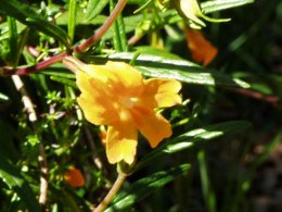 Bush Monkey Flower