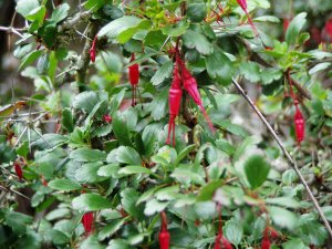 Fuchsia Flowered Gooseberry