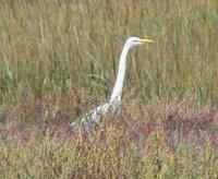 A statuesque egret