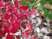 t_1colorfulpoisonoak