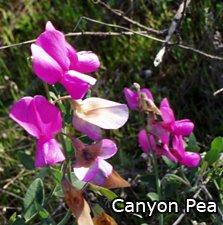 Canyon Pea